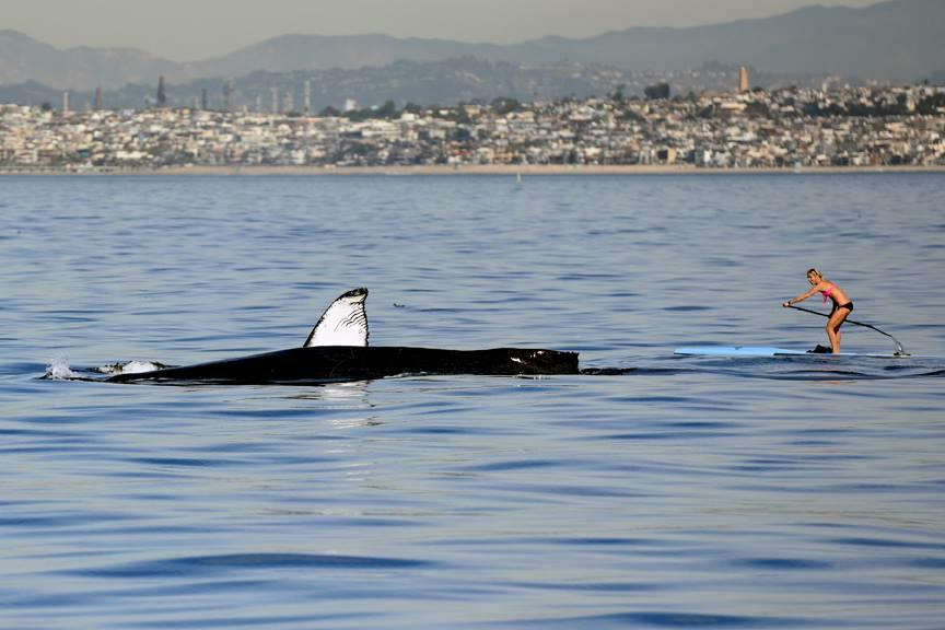 Sara Schulting Kranz paddle boarding near a whale off the coast of Hermosa Beach