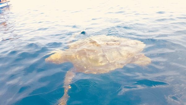 Hawksbill turtle off the coast of Redondo Beach, CA